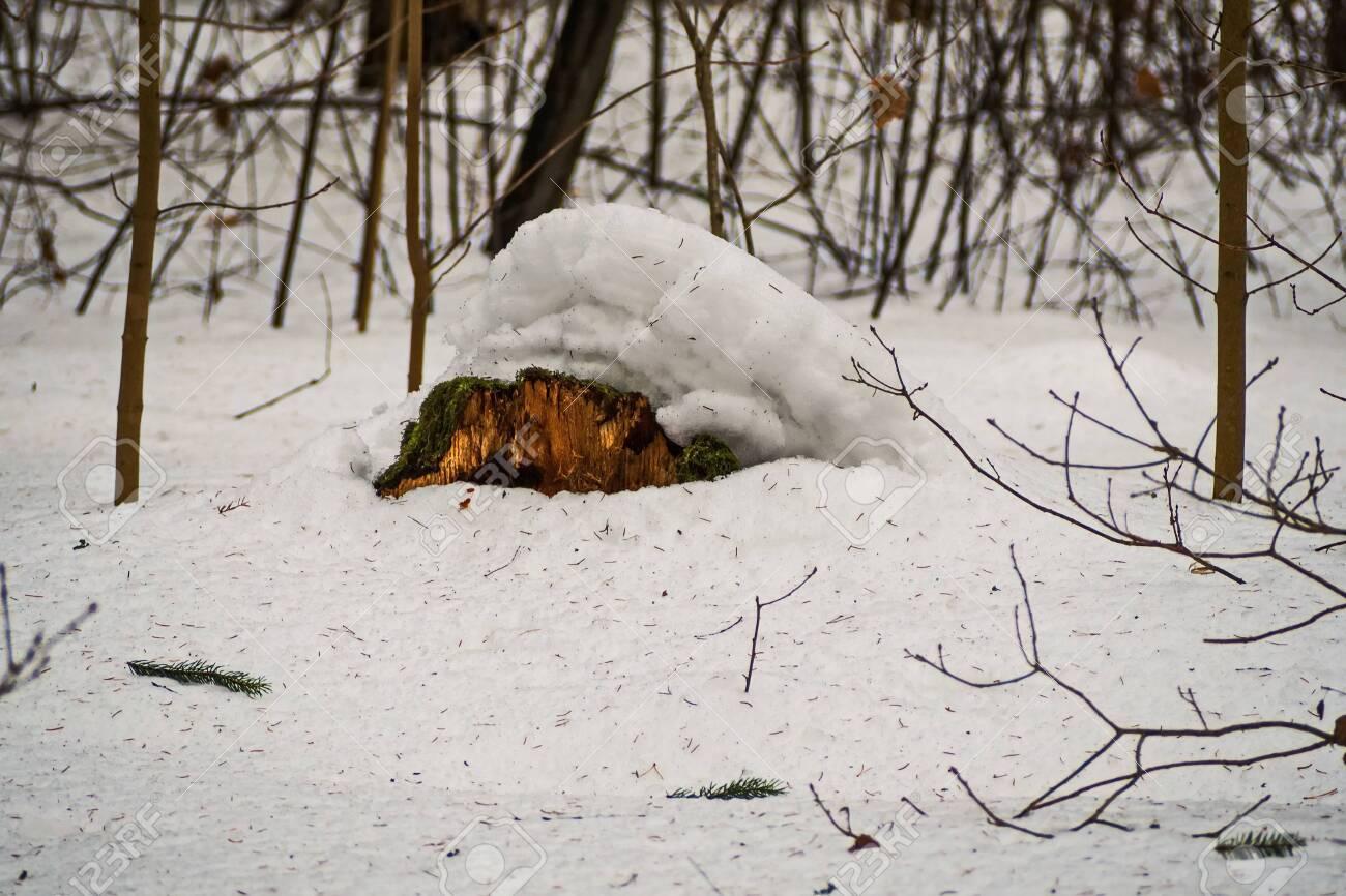 Old lonely mossy stump under the snow. February. Pavlovsk. Park. - 118778465