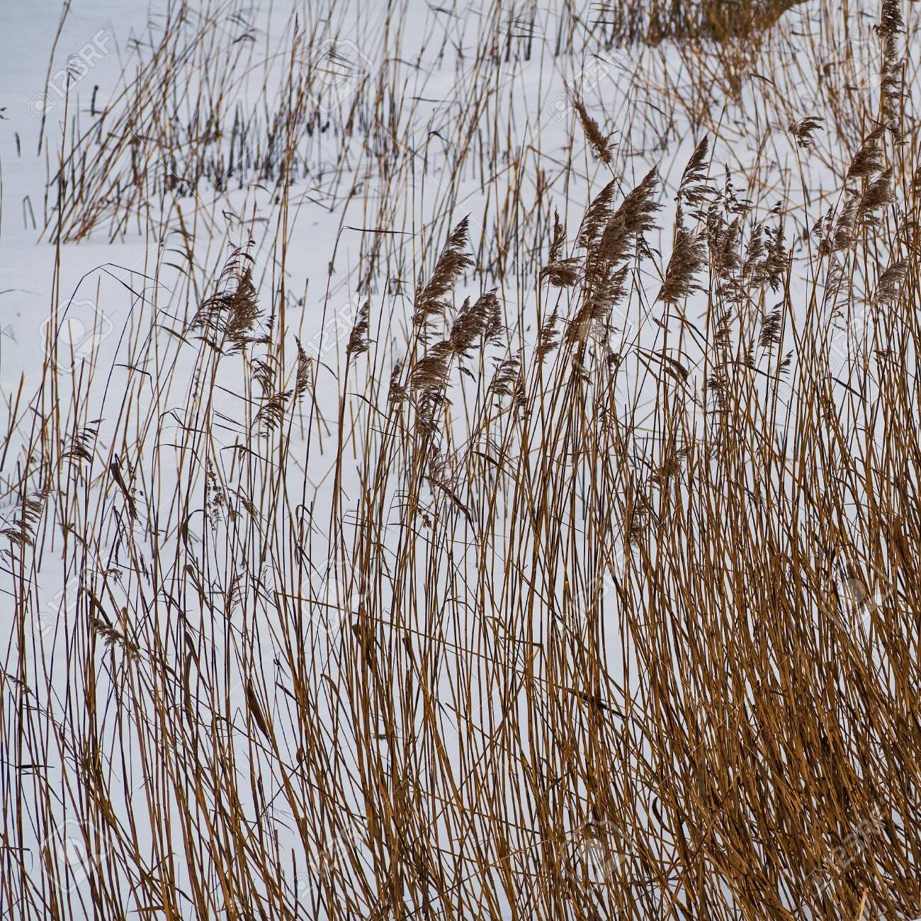 Coastal cane in the snow along the river Slavyanka. February. Pavlovsk. - 118778470