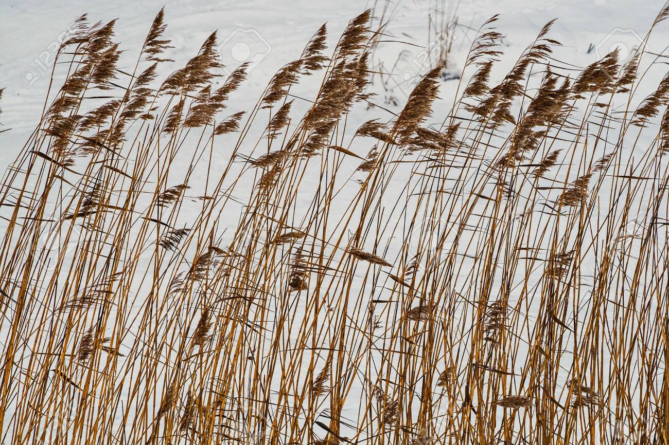 Coastal cane in the snow along the river Slavyanka. February. Pavlovsk. - 118778474