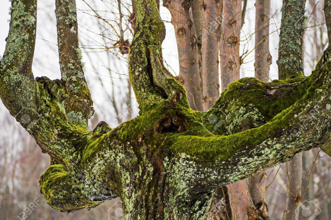 Old moss-covered tree in winter. February. Pavlovsk. Park. - 118778477