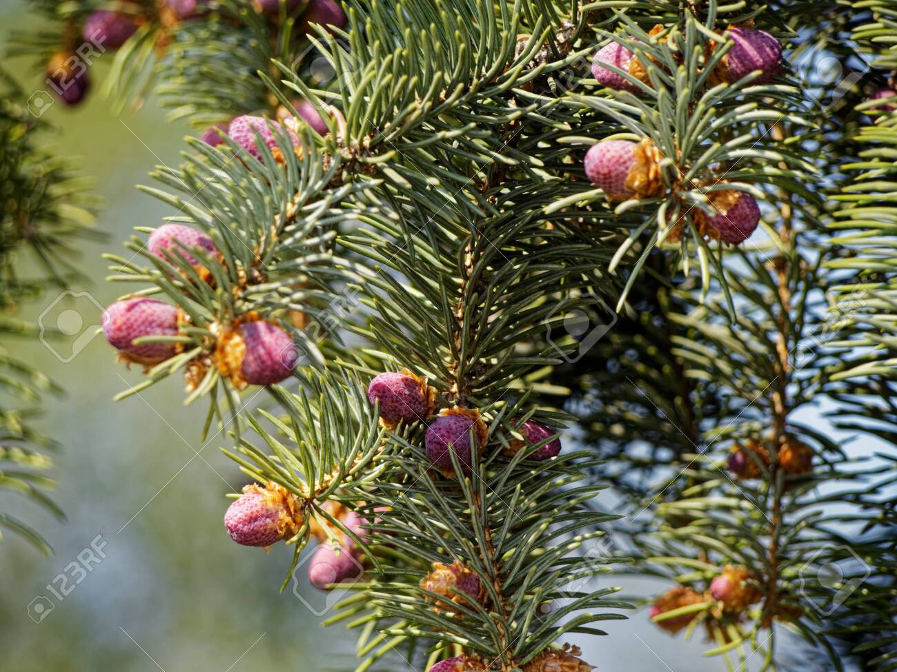 Just born small cones on the branches of a coniferous tree. - 137117222