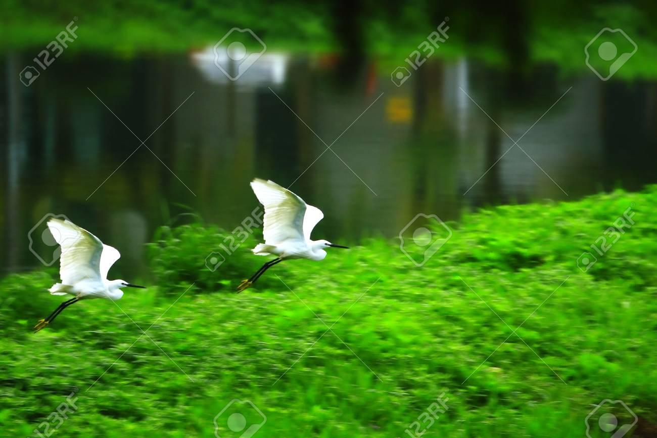 Egret Flying Stock Photo - 4015830