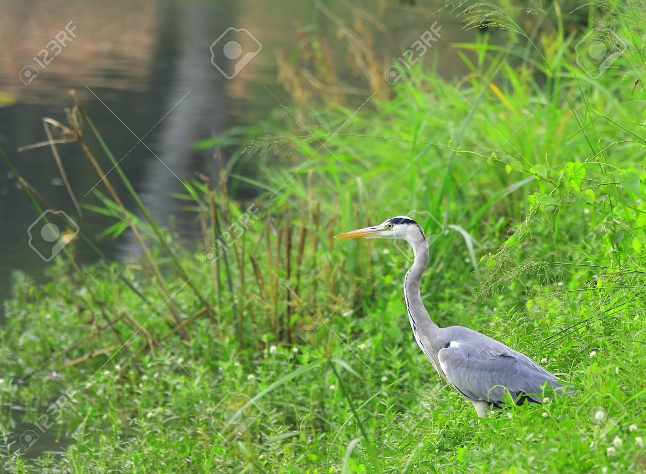 Gery Heron Stock Photo - 3987994
