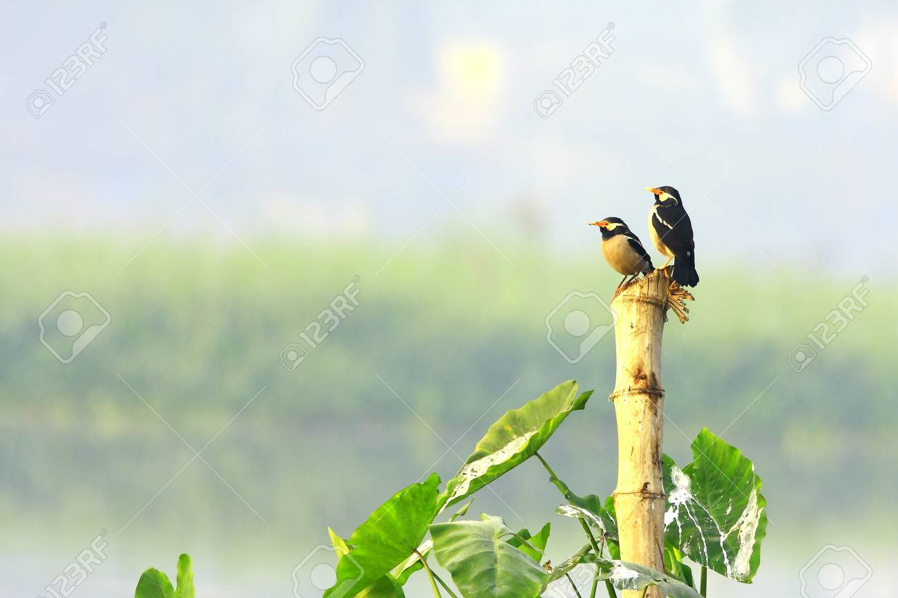 Starling Couple Stock Photo - 4384870