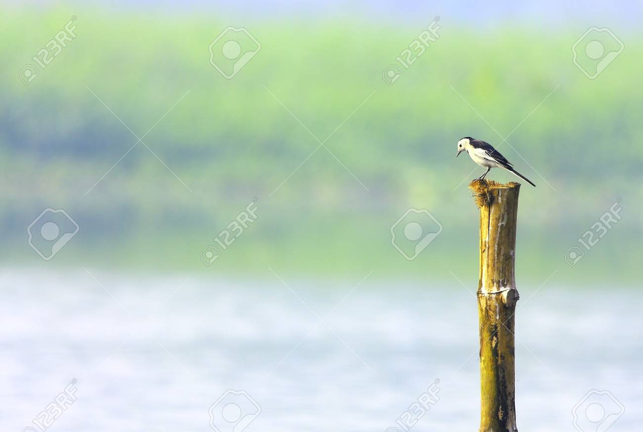 Wagtail Stock Photo - 4317623