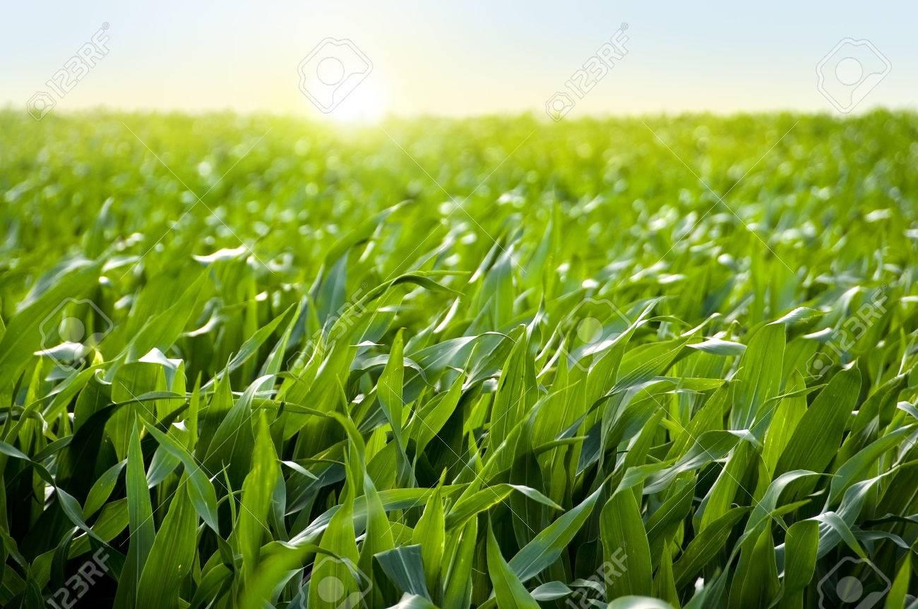 Corn field in sunset maize - 40500469