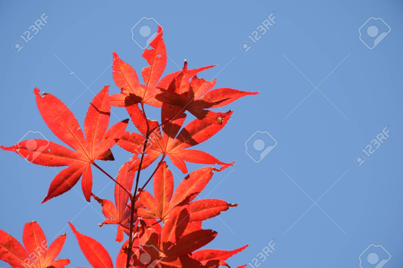 Autumn Leaves The Leaves Turn Red In The Fall Stock Photo