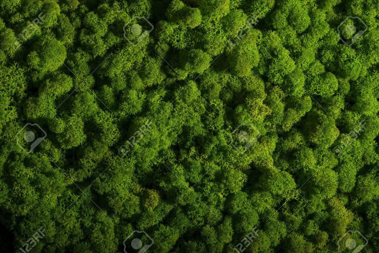 Reindeer moss wall, green wall decoration made of reindeer lichen Cladonia rangiferina - 65799401