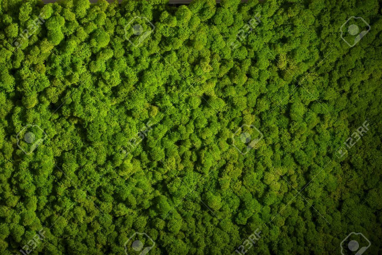 Reindeer moss wall, green wall decoration made of reindeer lichen Cladonia rangiferina - 65799602