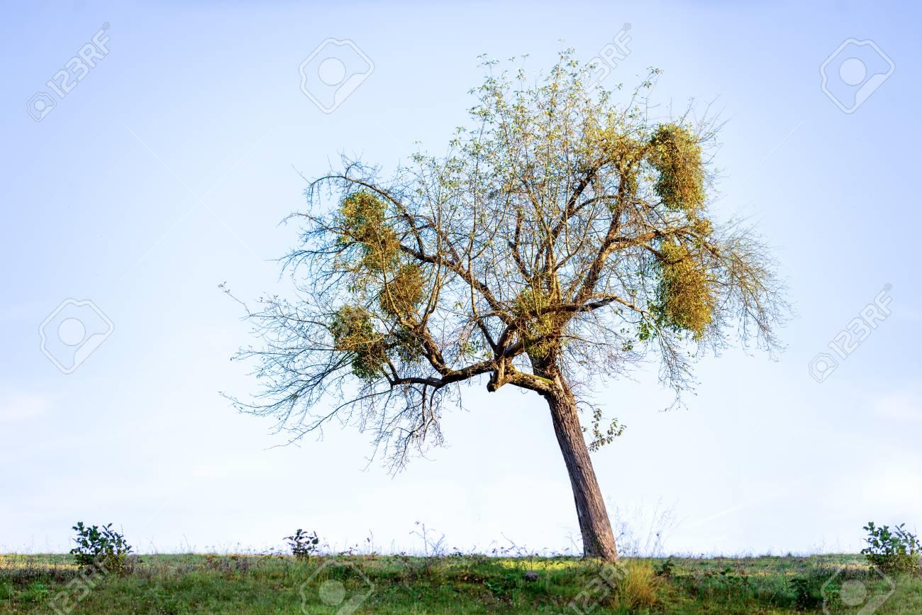 Large clumps of Mistletoe in old tree - Viscum album - 88939879