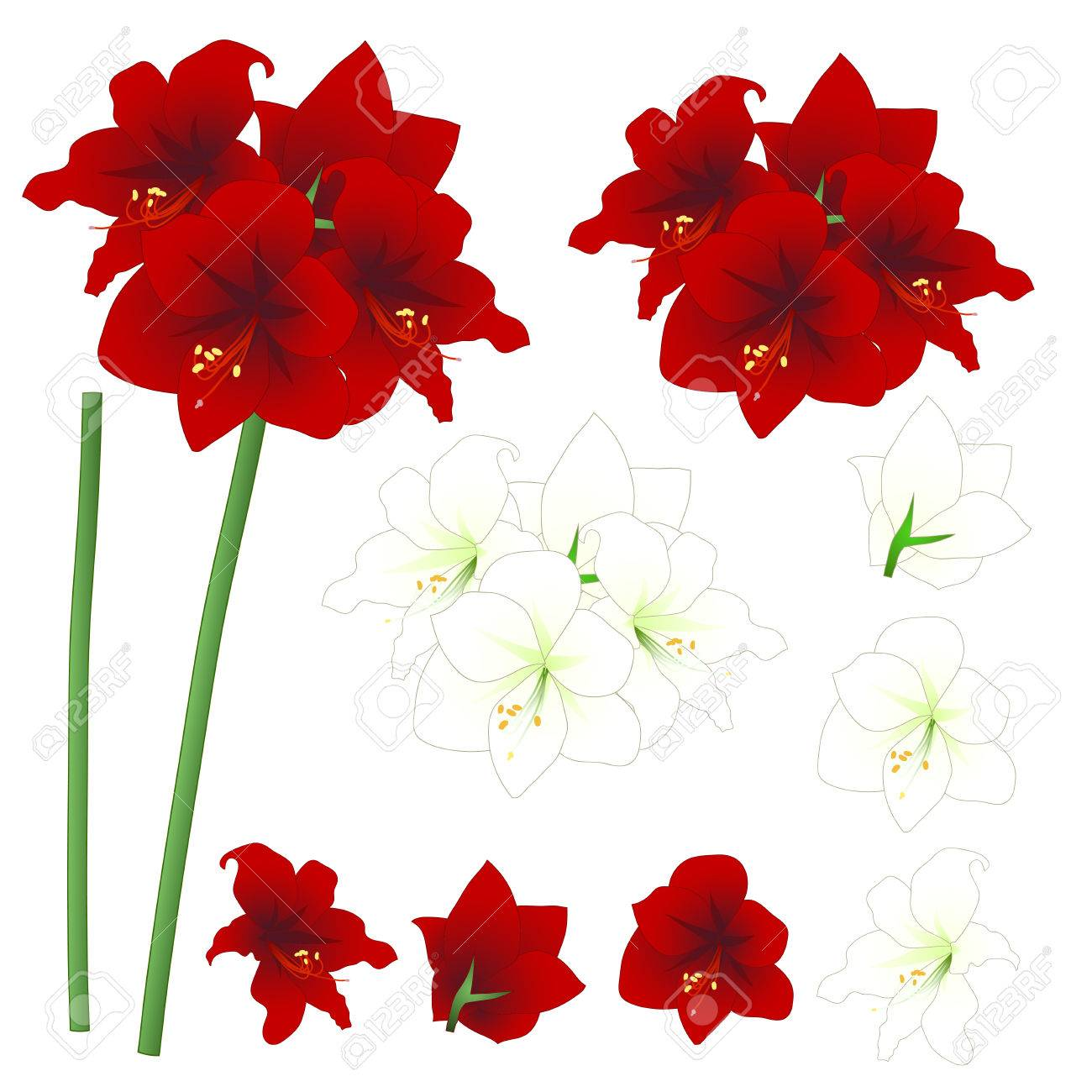 Red And White Amaryllis Hippeastrum Christmas Flower Vector