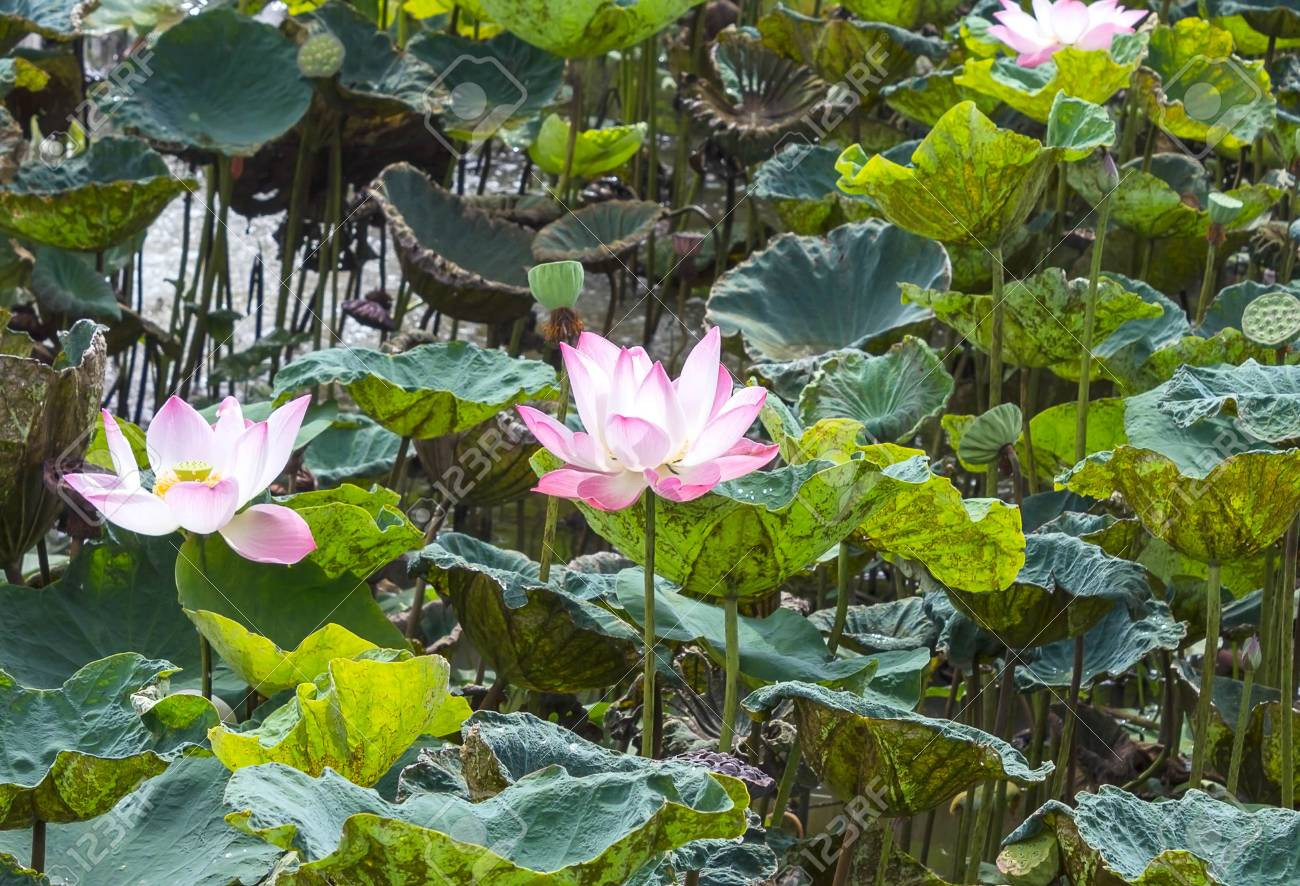 Beautiful lotus flower is the symbol of the buddha thailand stock beautiful lotus flower is the symbol of the buddha thailand stock photo 99090767 izmirmasajfo