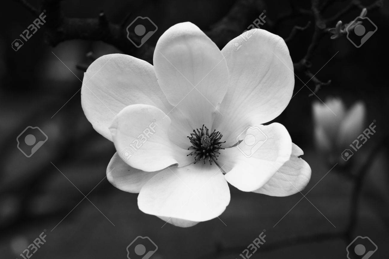 Magnolia Flower In Black And White
