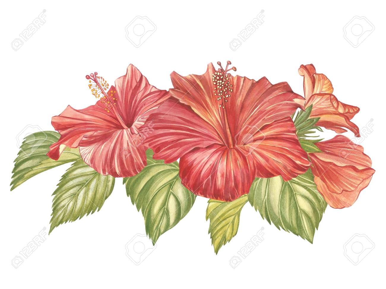Red Hibiscus Flower Isolated On White Background Watercolor Stock