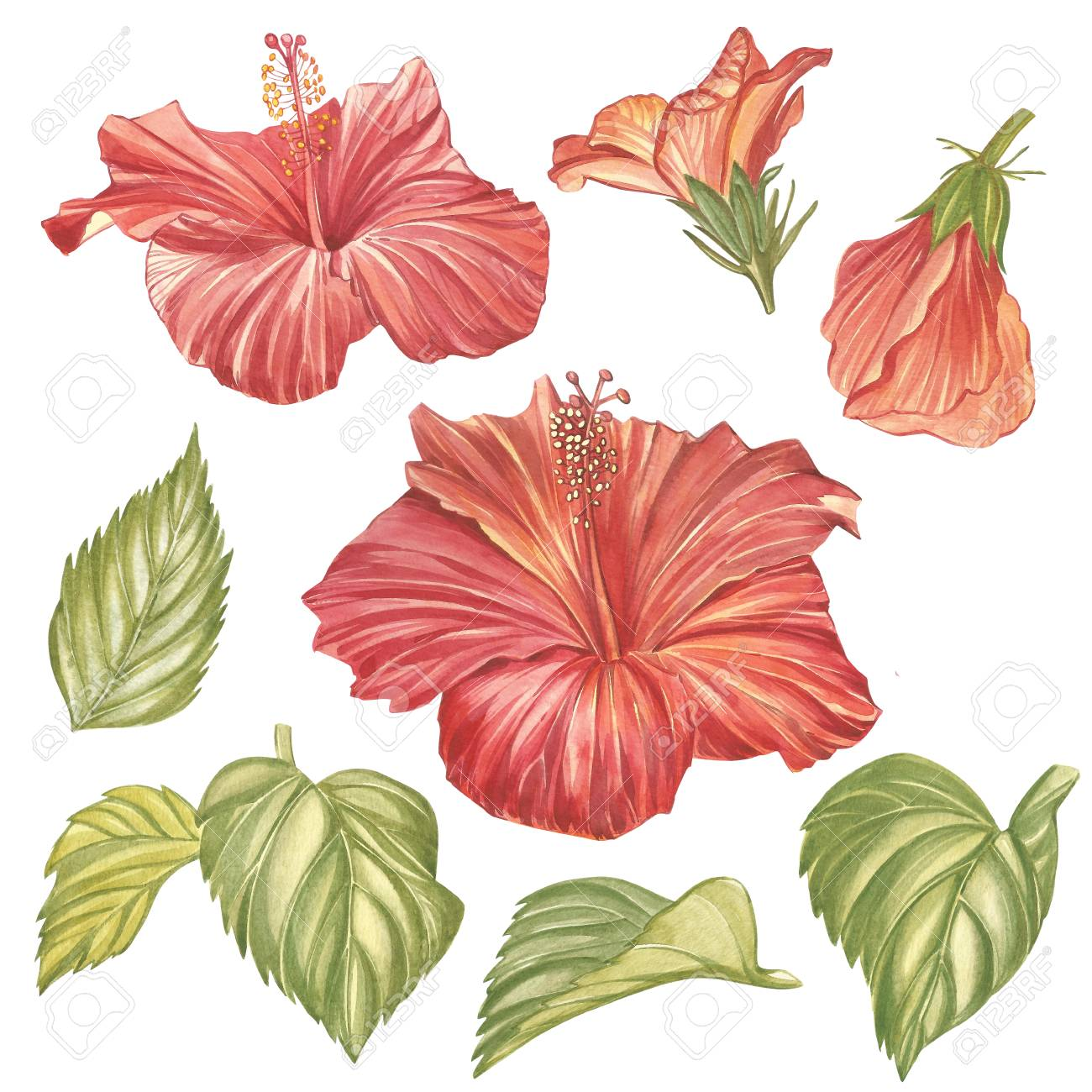 Red hibiscus flower isolated on white background watercolor stock red hibiscus flower isolated on white background watercolor tropical flower realistic colorful hibiscus with leaves izmirmasajfo
