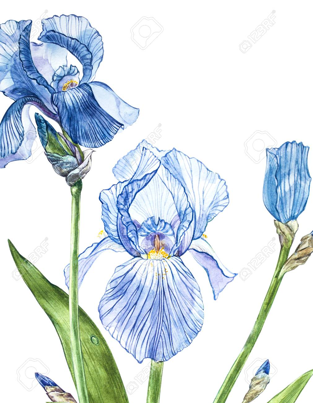 Flowers of iris watercolor hand drawn botanical illustration flowers of iris watercolor hand drawn botanical illustration of flowers isolated on a white background izmirmasajfo