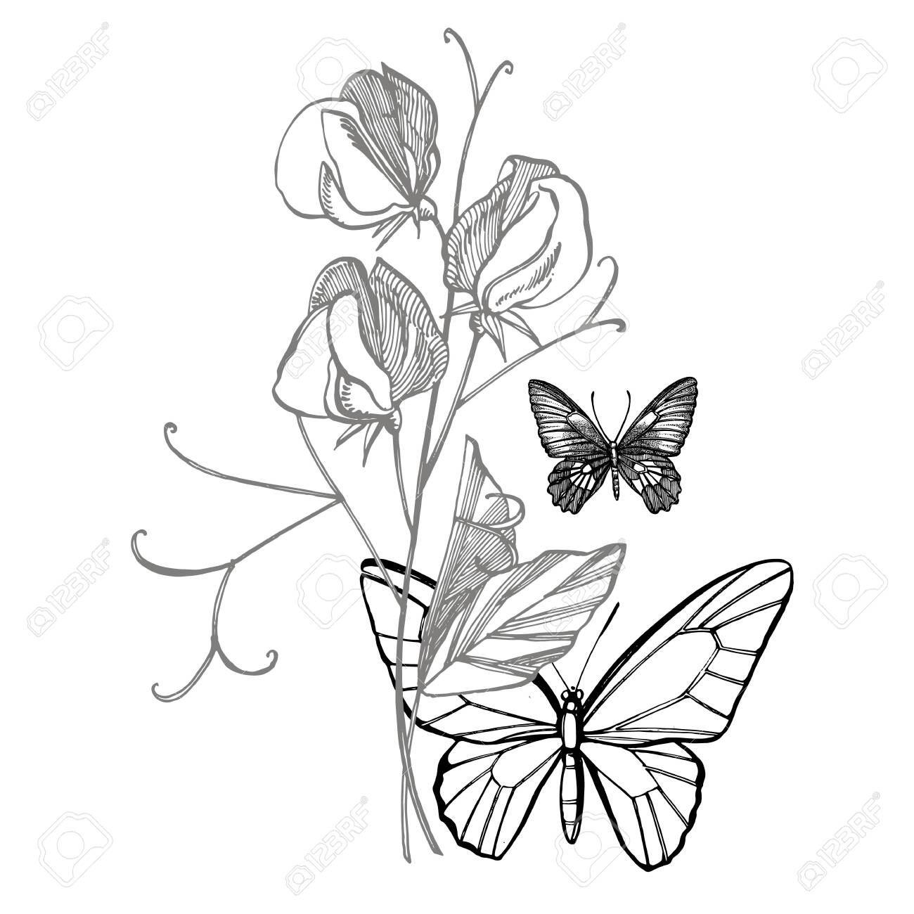 Sweet Pea Flowers Drawing And Sketch With Line Art On White Backgrounds