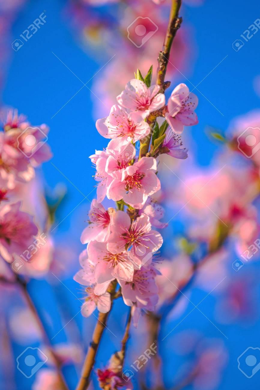Les Fleurs Roses De La Fleur De Pecher Sur Le Fond De Ciel Bleu