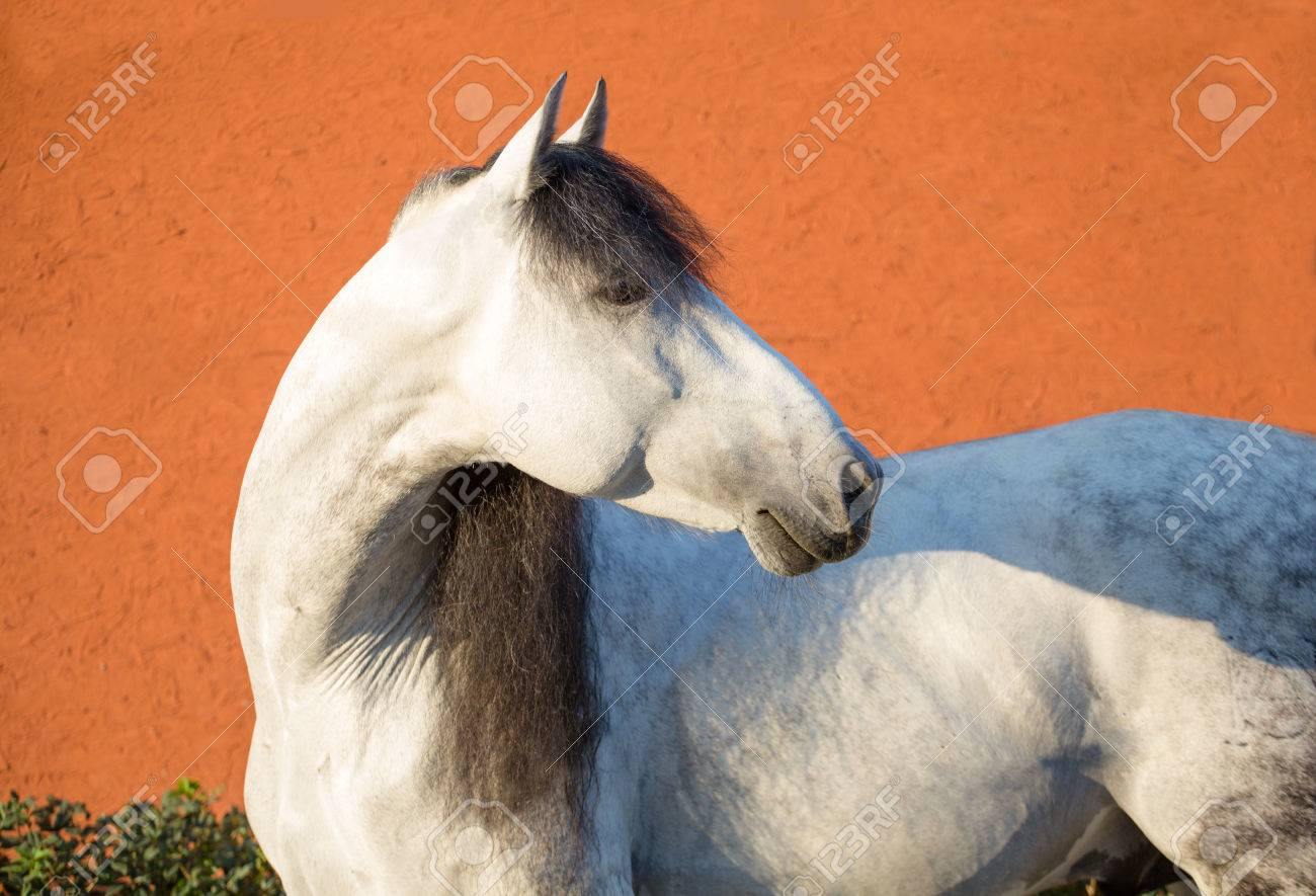 Portrait White Horse With Black Mane On The Bright Red Background Stock Photo Picture And Royalty Free Image Image 67375230