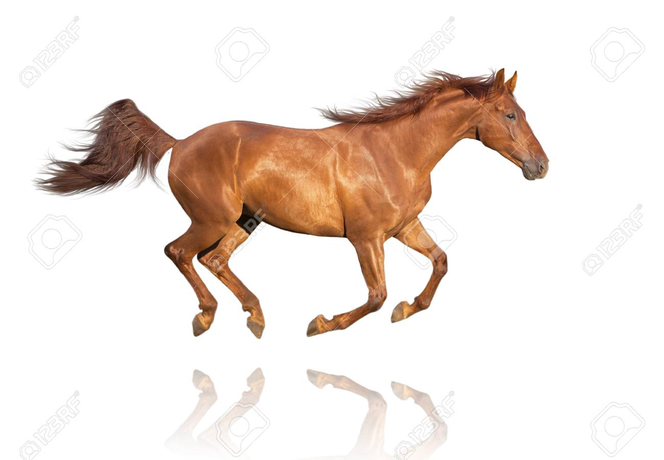 Chestnut Horse Isolated On White Background Galloping Stock Photo ...