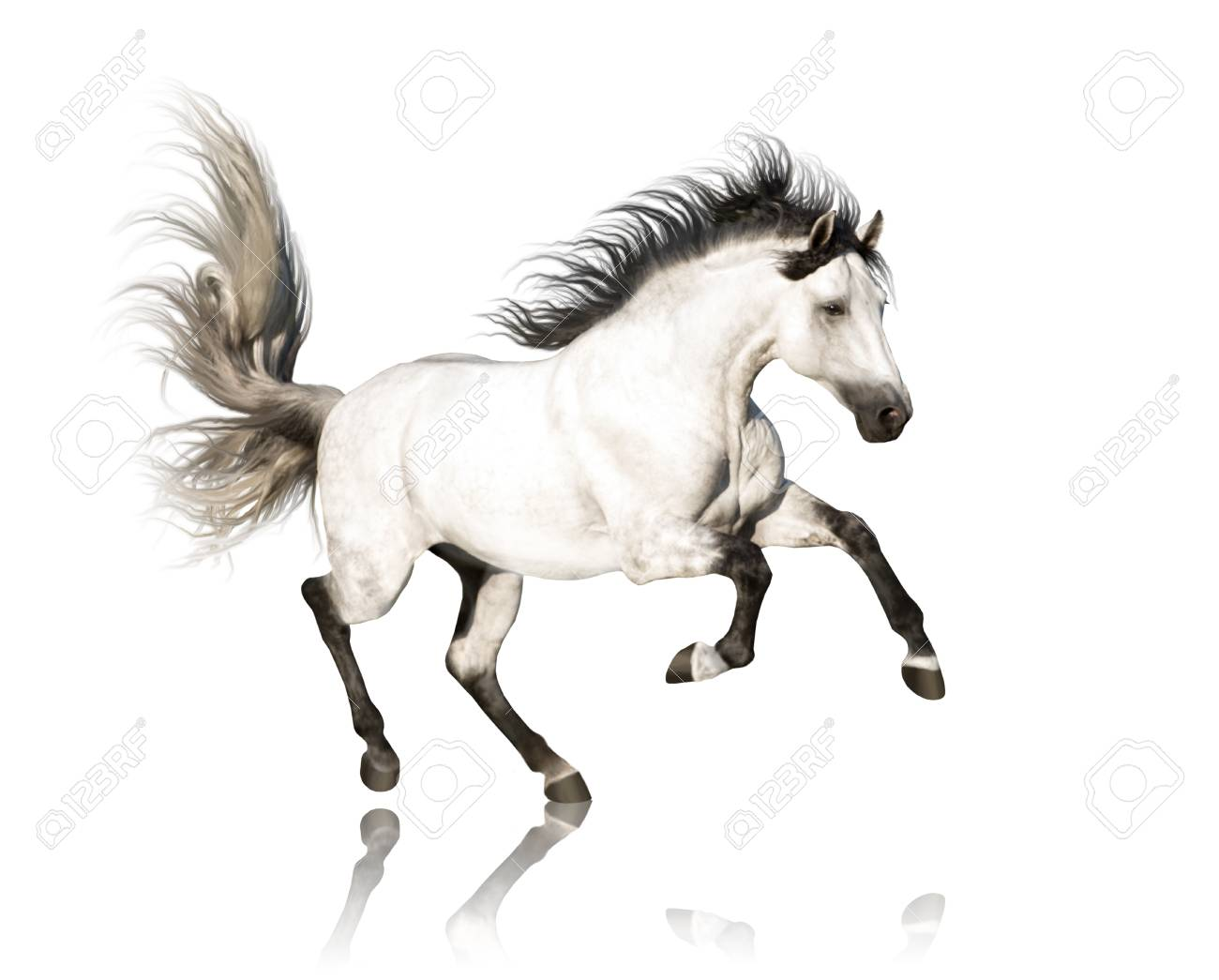 White Andalusian Horse With Black Legs And Mane Galloping Isolated Stock Photo Picture And Royalty Free Image Image 106643438