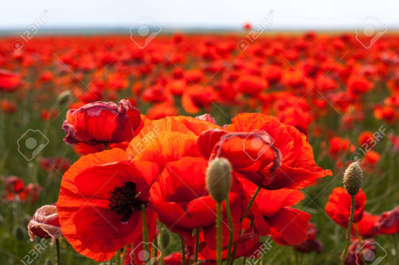 The huge field of red poppies flowers sun and clouds view many stock photo the huge field of red poppies flowers sun and clouds view many of poppies and close up mightylinksfo Choice Image