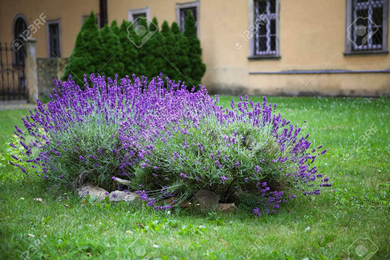 Lavender Bush Background Street In The Bokhe Background Stock