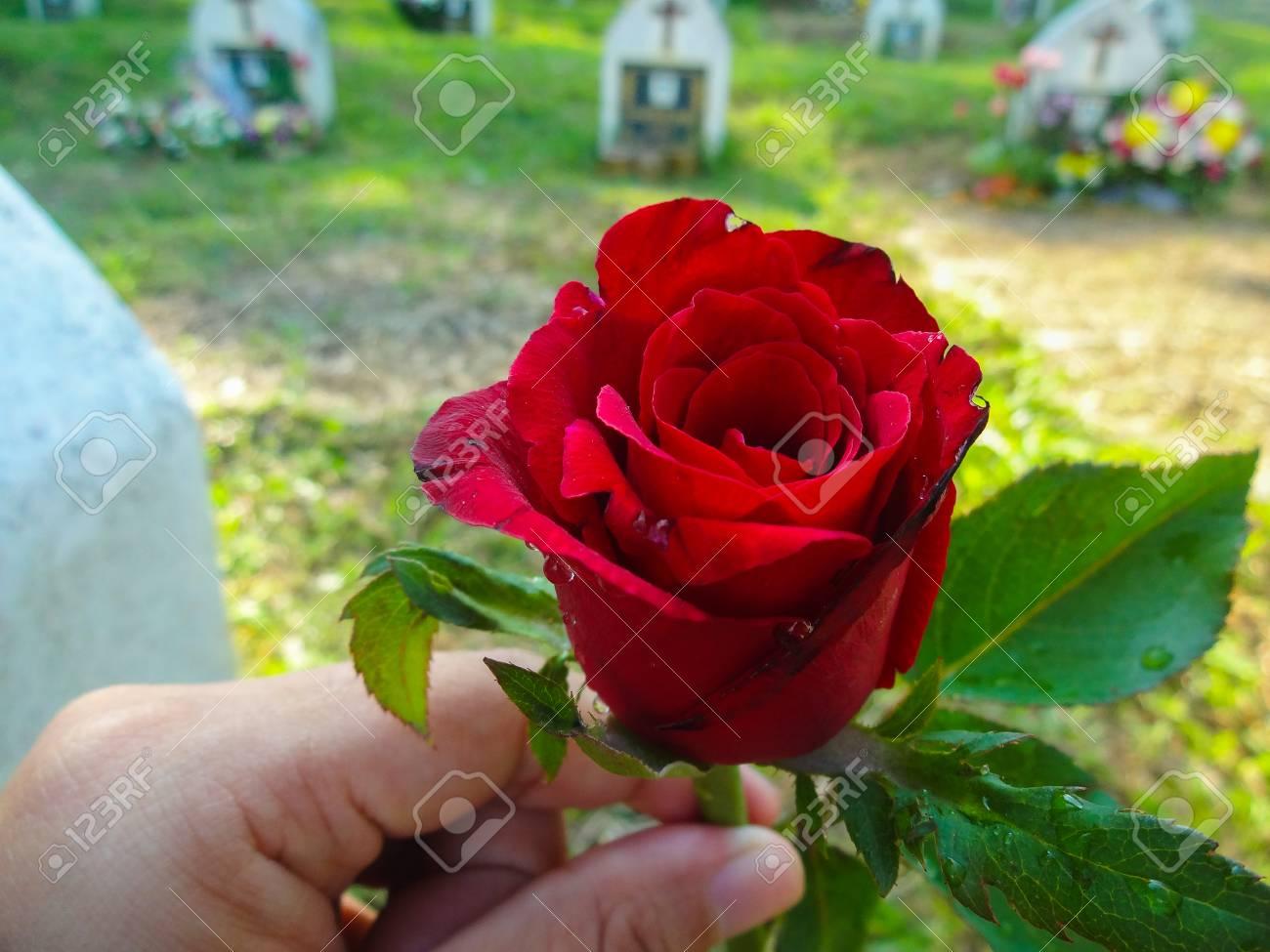 Belle Fleur Rose Rouge Au Cimetiere Banque D Images Et Photos Libres