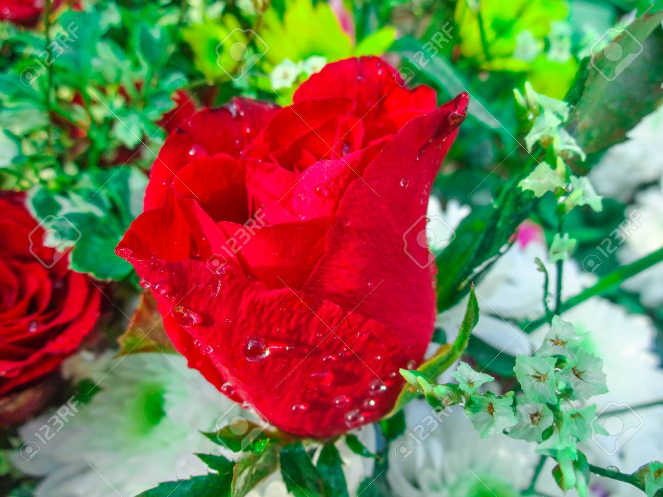 Beautiful Red Rose Flower Stock Photo Picture And Royalty Free