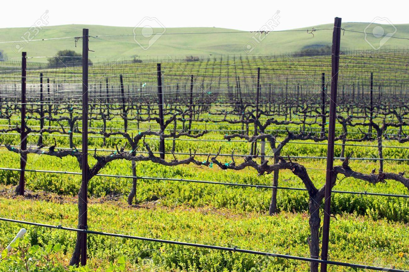 spring growth in the central coast vineyards - 6547212