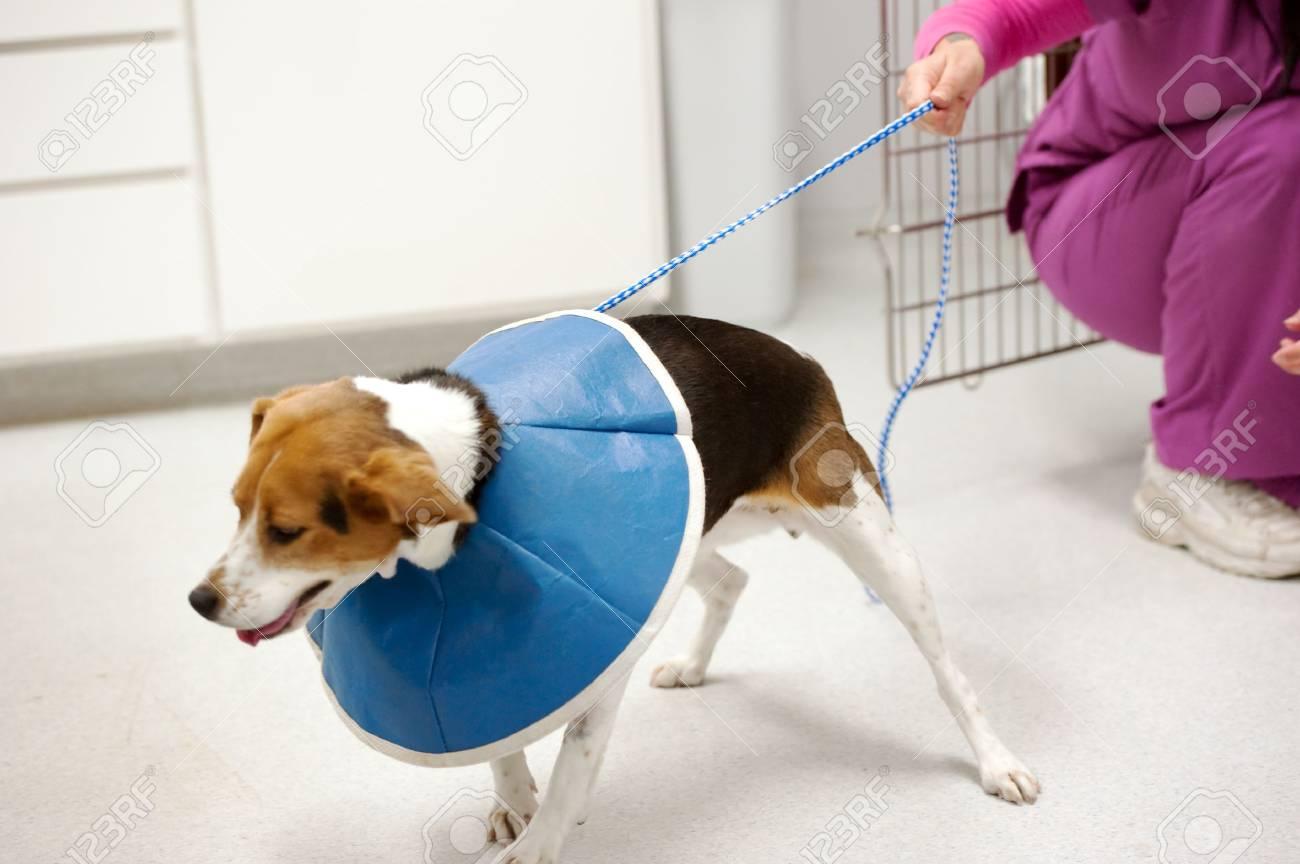 a nurse holds onto a beagle patient Stock Photo - 6977785