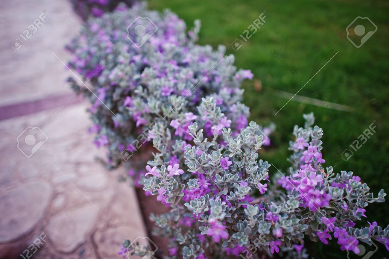 Small Bushes With Violet Flowers On Grass Stock Photo Picture And