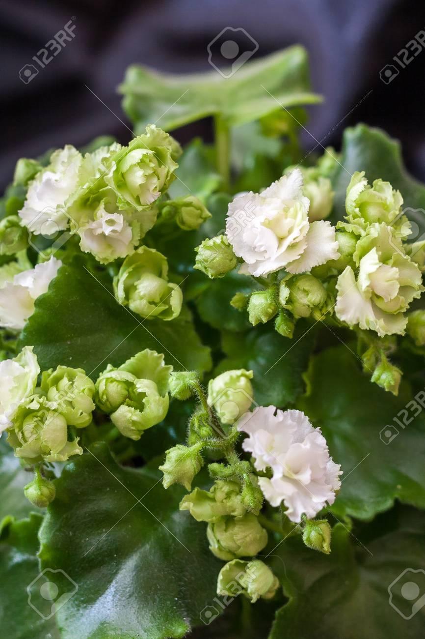Saintpaulia Varieties Irish Flirt Srano With Beautiful White