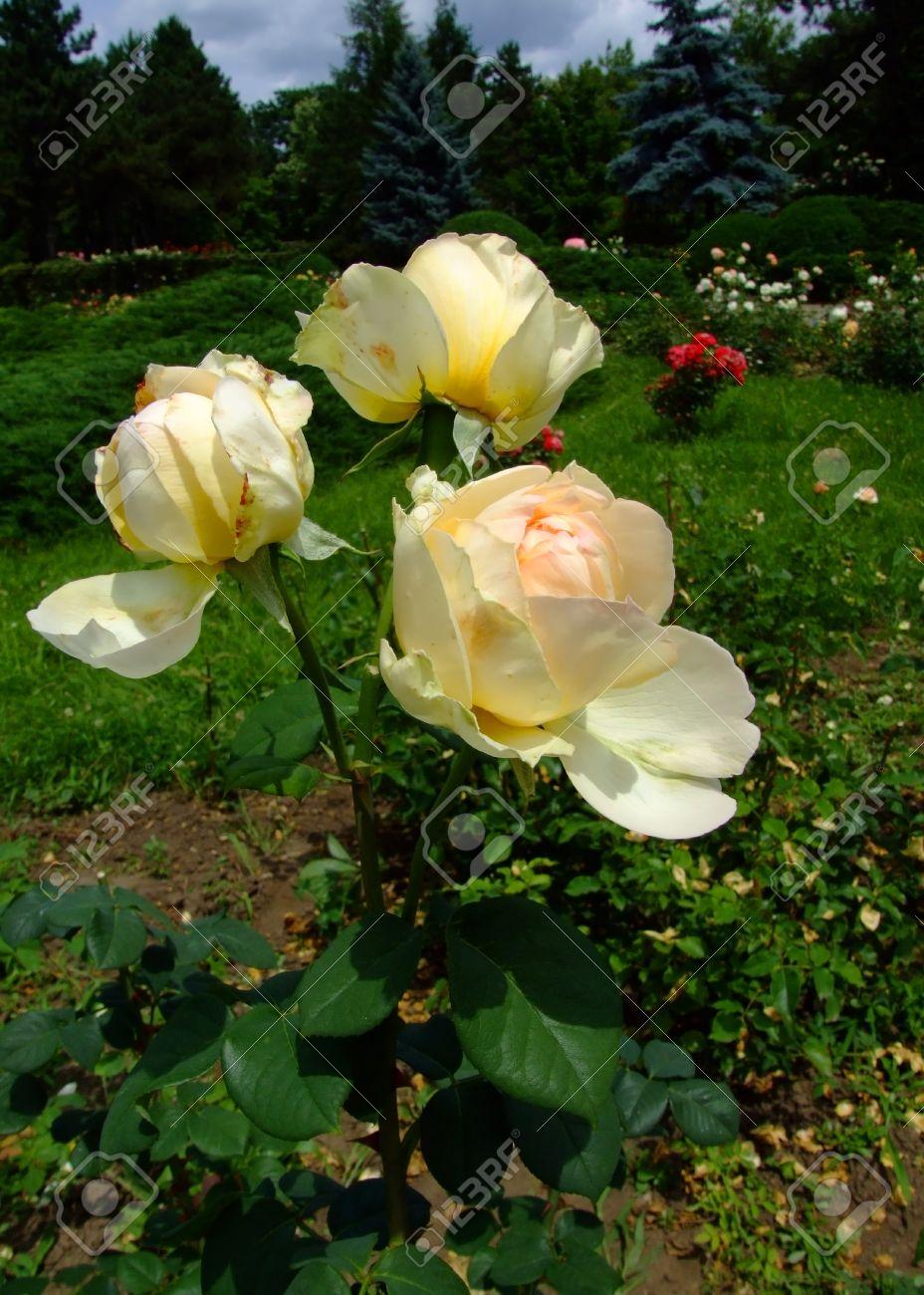 BRITNEY: Dutch Rosa