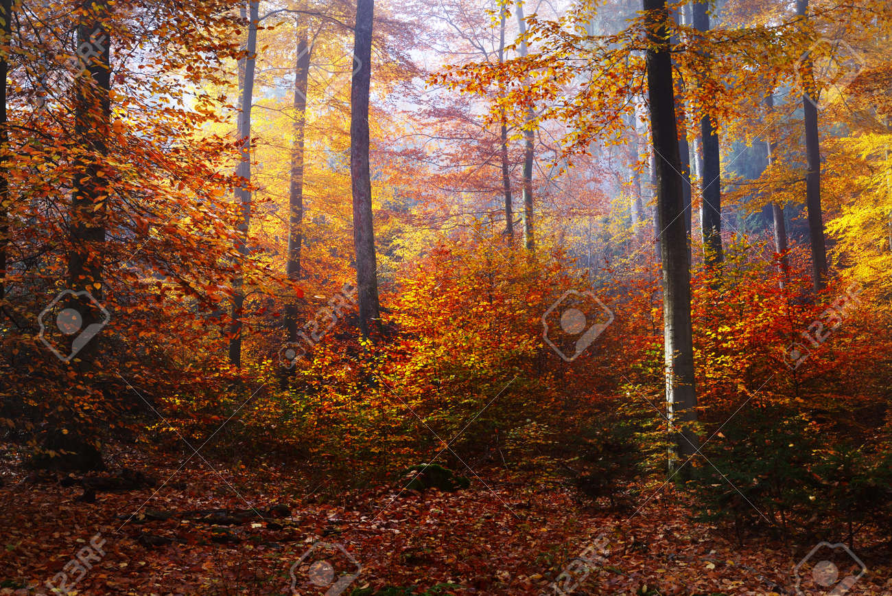 Colorful tall beech trees close-up. Forest floor of red and orange leaves. Fairy autumn landscape. Pure morning sunlight glowing through the tree trunks. Heidelberg, Germany - 166860613