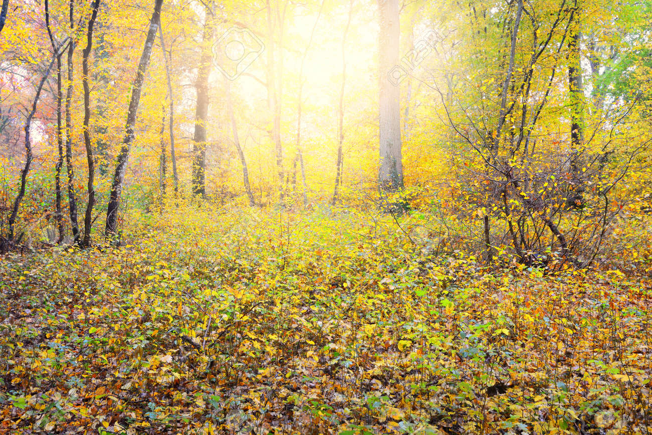 Panoramic view of the autumn forest. Mighty trees, moss. Green, orange, yellow, golden leaves. Sunlight. Idyllic landscape. Loire, France. Seasons, nature, environmental conservation, ecotourism - 166725299