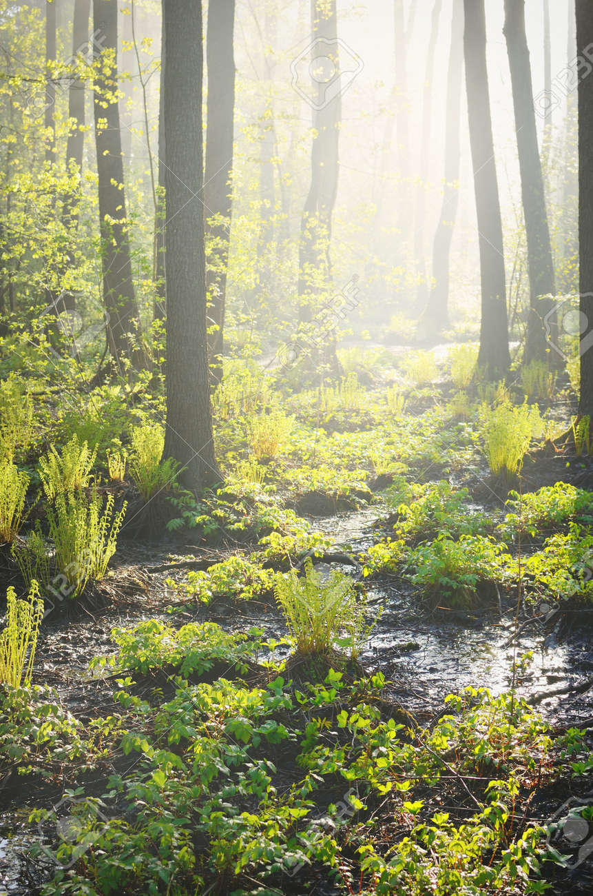 Northern evergreen forest in a morning fog. Mighty pine trees, plants, fern. Pure sunlight, sunbeams Idyllic spring landscape. Ecology, ecosystems, environmental conservation, ecotourism - 166530174