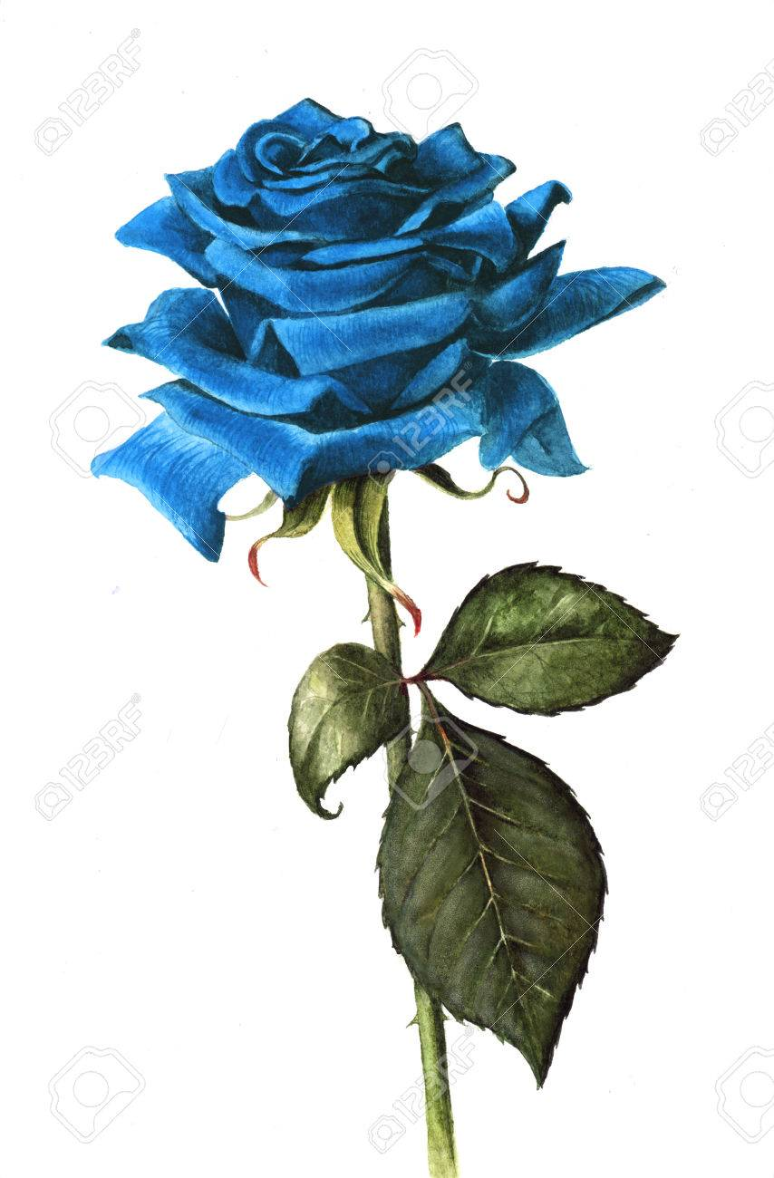 Blue Rose Stock Photos Royalty Free Blue Rose Images