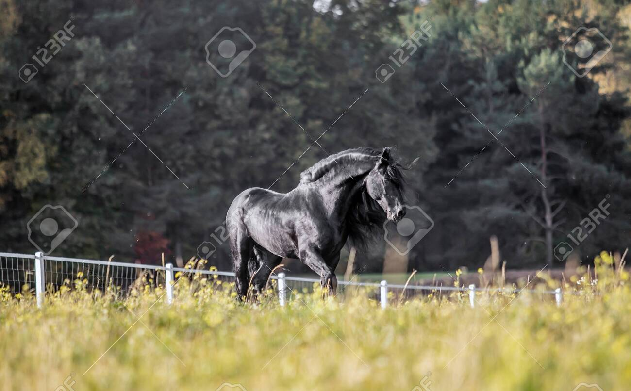 Beautiful Black Horse The Friesian Stallion Gallops In The Autumn Stock Photo Picture And Royalty Free Image Image 142333314