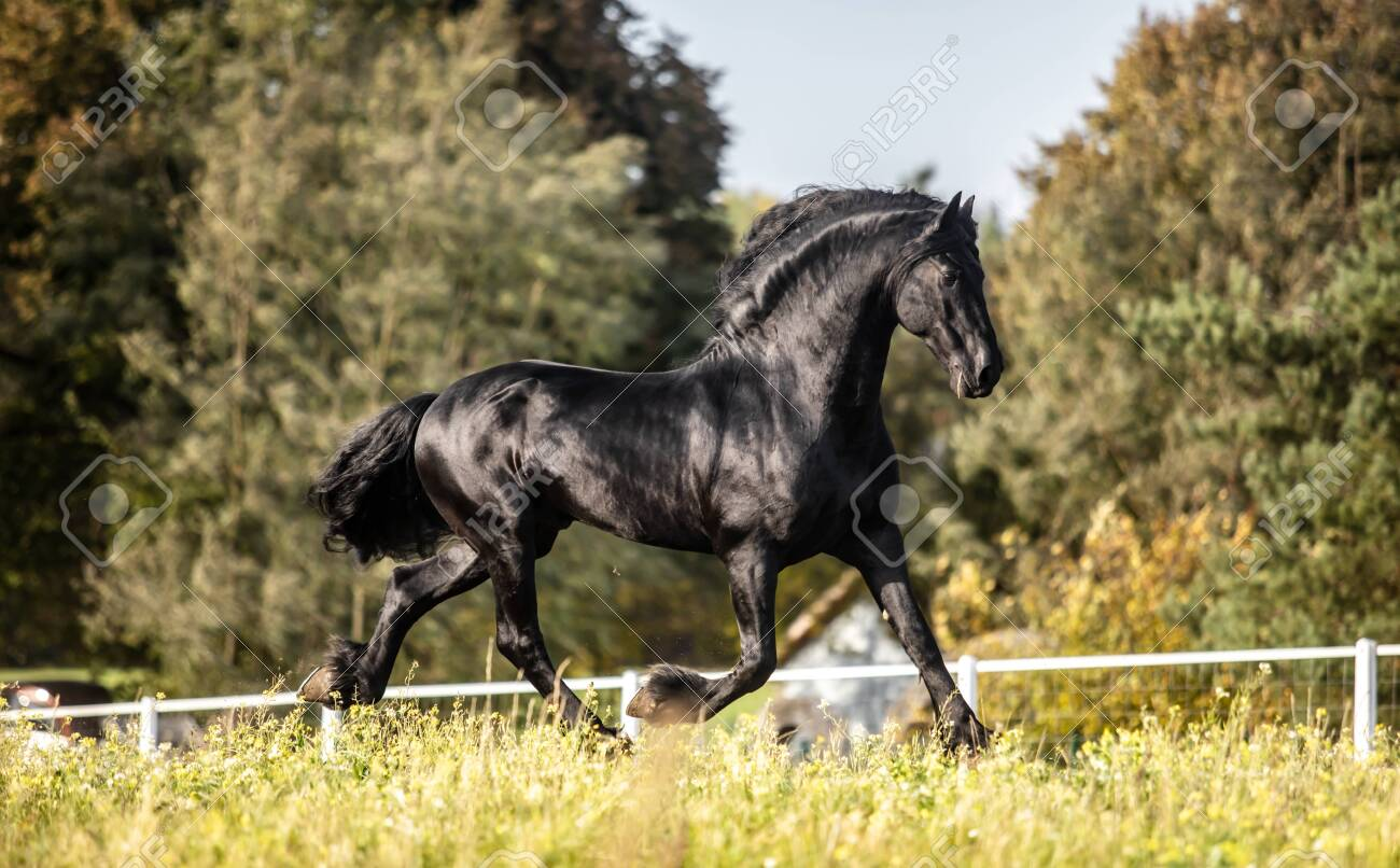Beautiful Black Horse The Friesian Stallion Gallops In The Autumn Stock Photo Picture And Royalty Free Image Image 142333191