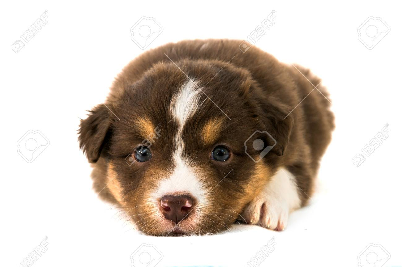 Red Tricolor Australian Shepherd Puppy Stock Photo Picture And Royalty Free Image Image 36241406