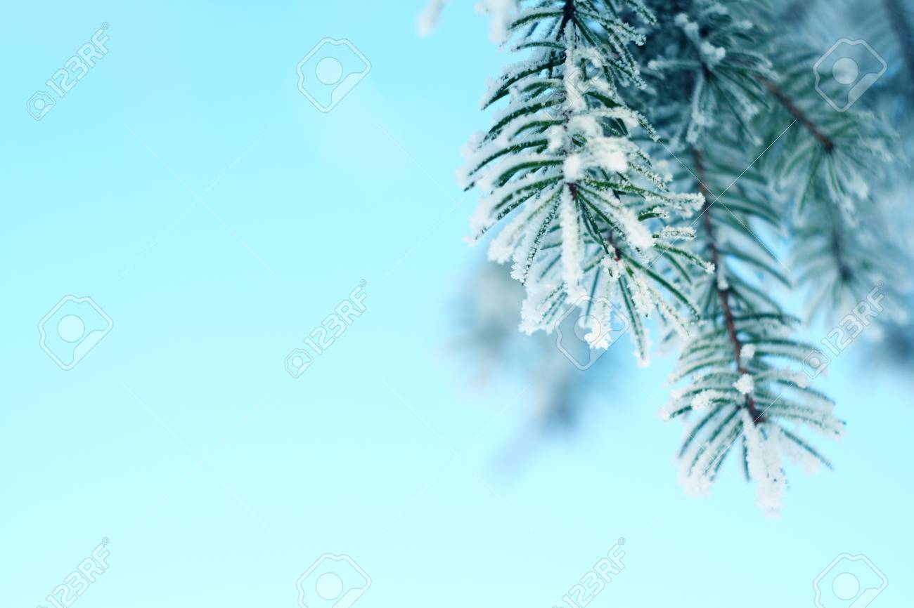 Pine tree covered with frost, against the blue sky Stock Photo - 8825588