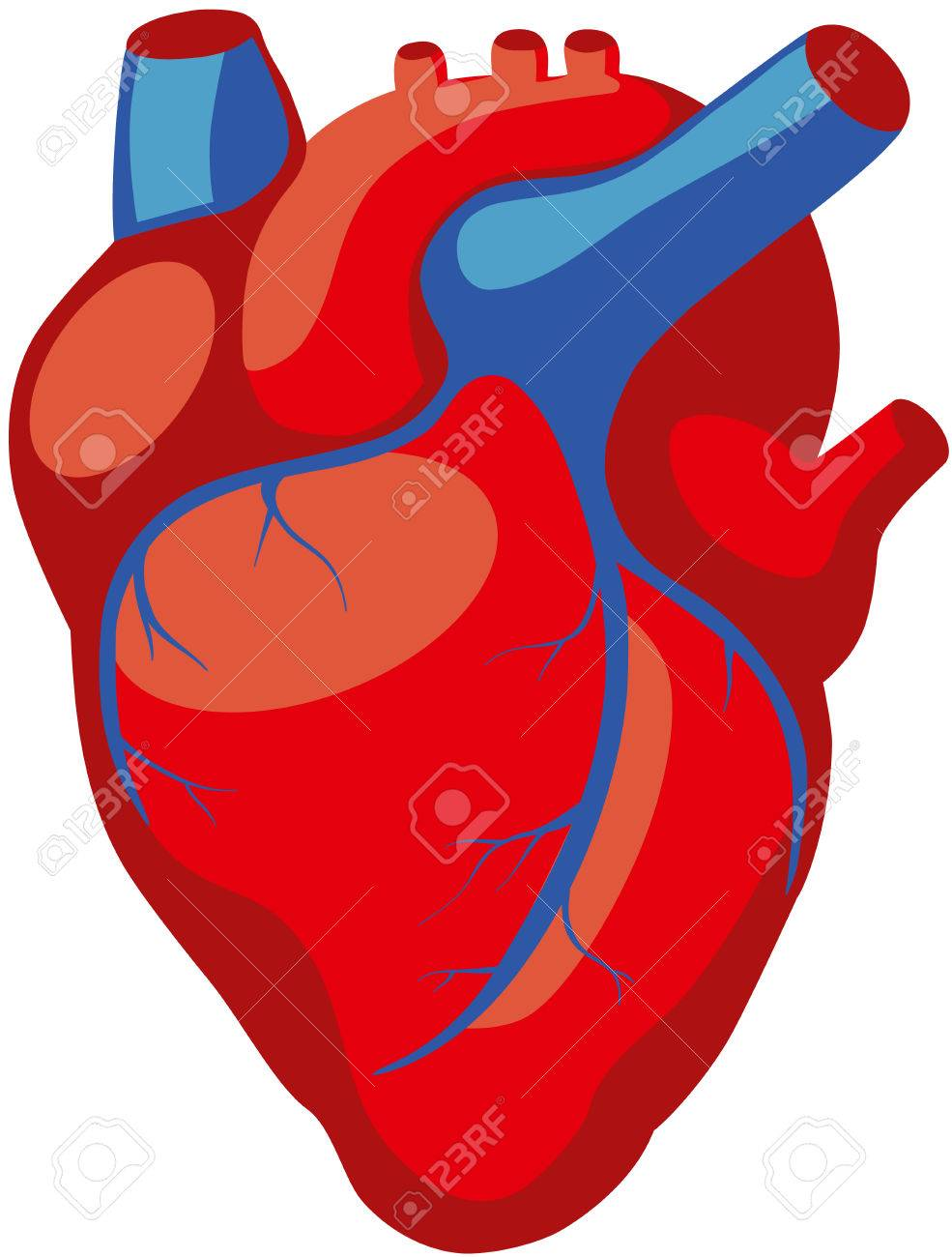 anatomy of the human heart in red color with blue veins royalty free rh 123rf com human heart vector outline human heart vector illustration