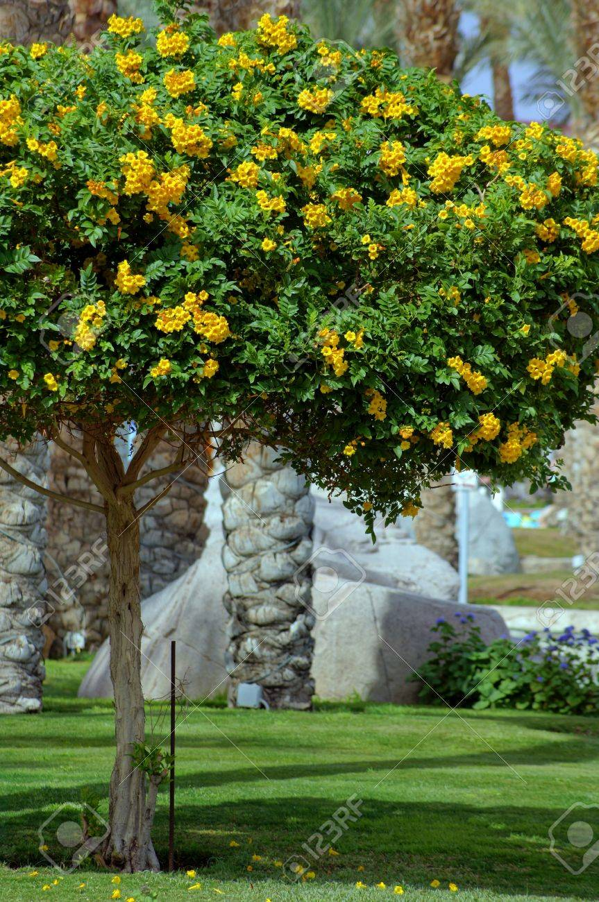 Flor de trompeta de oro salpicada de gotas de lluvia, rodeado de follaje de color verde Foto de archivo - 12819723
