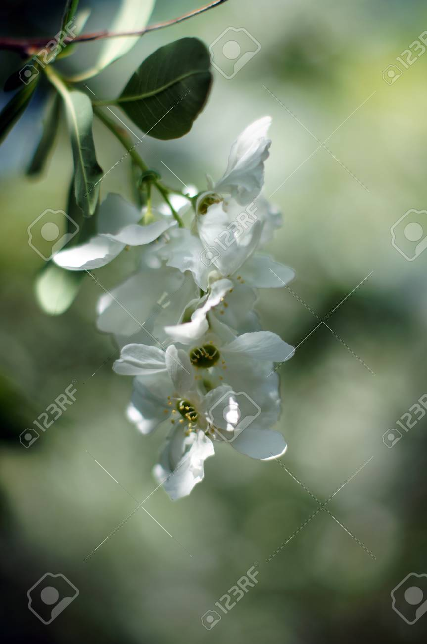 Spring Time Blooming Jasmine Bushes In The Garden Stock Photo