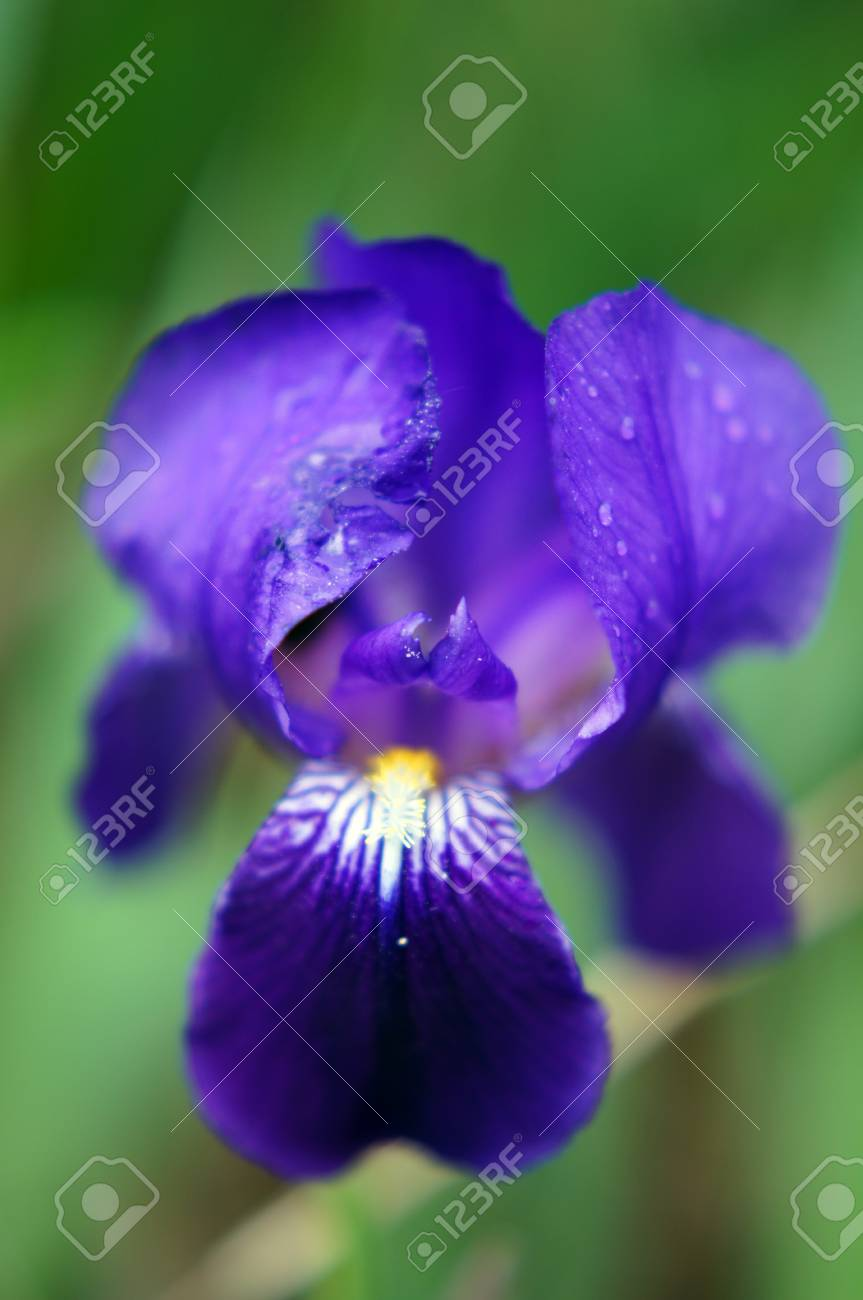 Spring Time Blue Iris Flowers In The Forest Stock Photo Picture