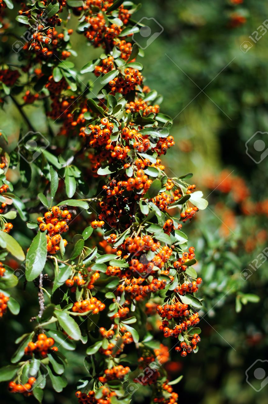 Close Up Of Orange Berries And Green Leaves Of A Holly Bush Stock