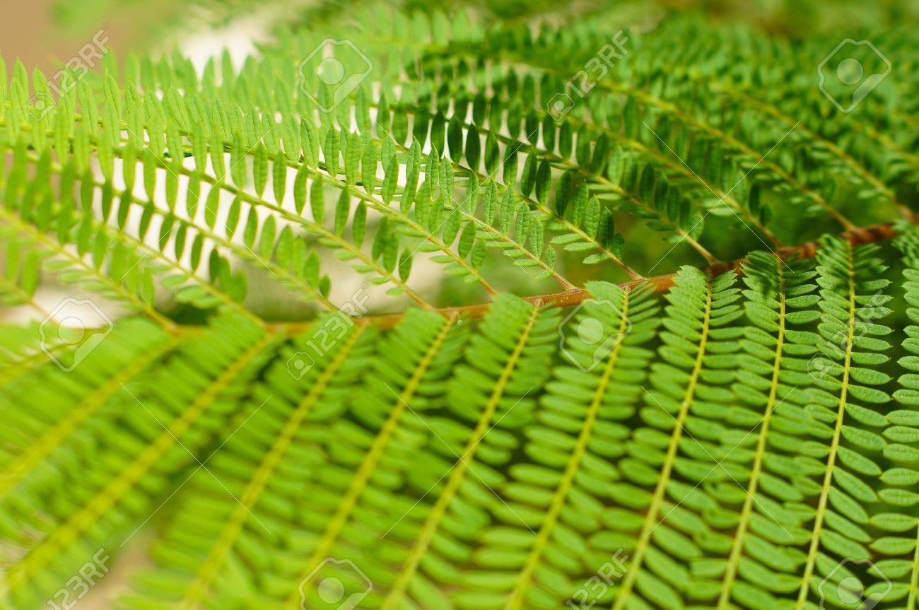 Bright Green Tropical Acacia Tree Leaves As A Background