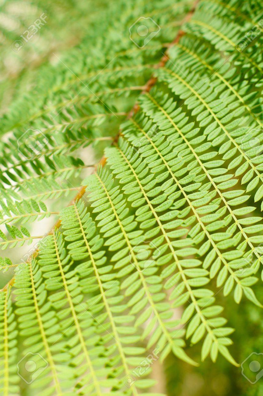 Bright Green Tropical Acacia Tree Leaves As A Background Stock Photo