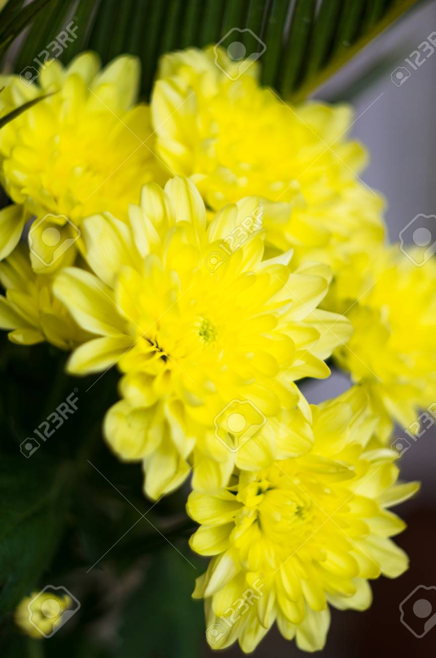 Yellow Aster Flowers In A Vase Stock Photo Picture And Royalty Free